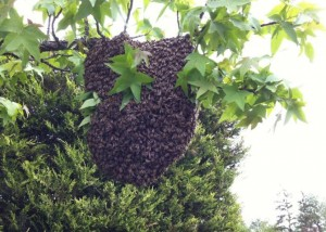 essaim abeilles Lyon