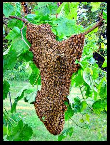 essaim abeilles Villeurbanne