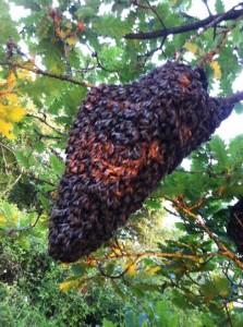 Essaim rhone - apiculteur